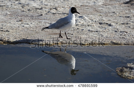 The Black Headed Laughing Gull clipart #2, Download drawings