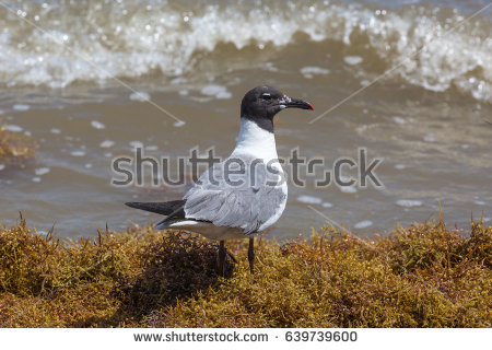 The Black Headed Laughing Gull clipart #19, Download drawings