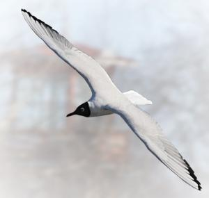 The Black Headed Laughing Gull clipart #4, Download drawings