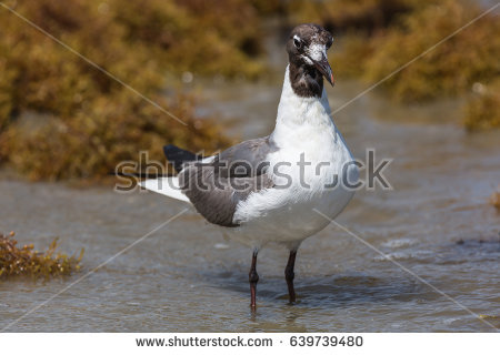 The Black Headed Laughing Gull clipart #17, Download drawings