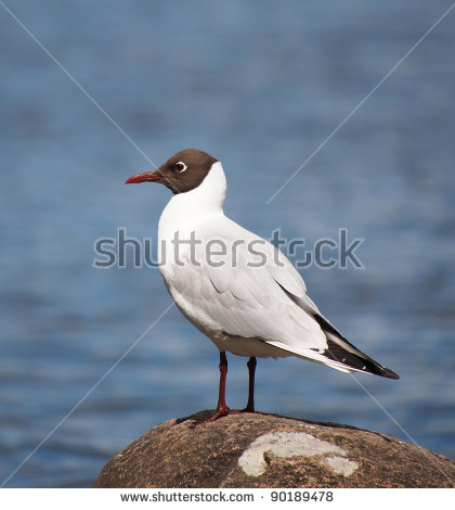 The Black Headed Laughing Gull clipart #15, Download drawings