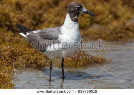 The Black Headed Laughing Gull clipart #14, Download drawings