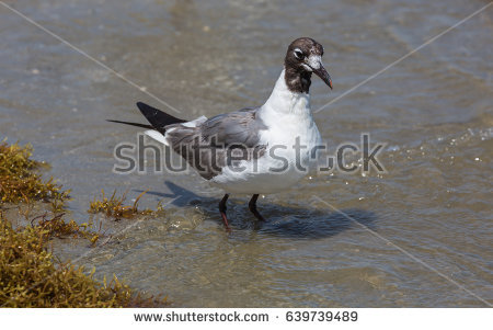 The Black Headed Laughing Gull clipart #16, Download drawings