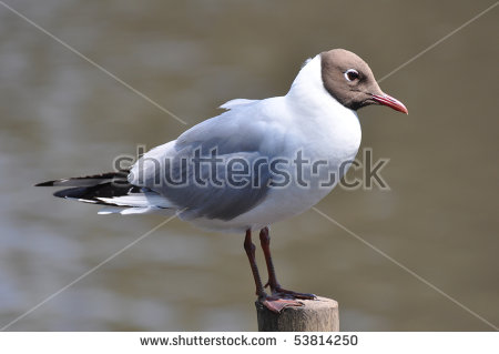 The Black Headed Laughing Gull clipart #1, Download drawings