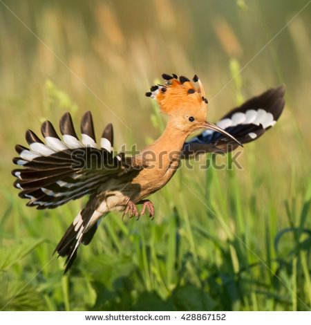 The Hoopoe Close Up clipart #5, Download drawings