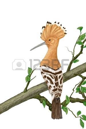 The Hoopoe Close Up clipart #7, Download drawings