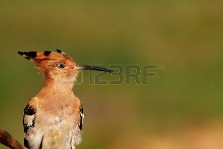 The Hoopoe Close Up clipart #3, Download drawings
