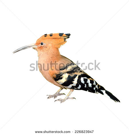 The Hoopoe Close Up clipart #17, Download drawings