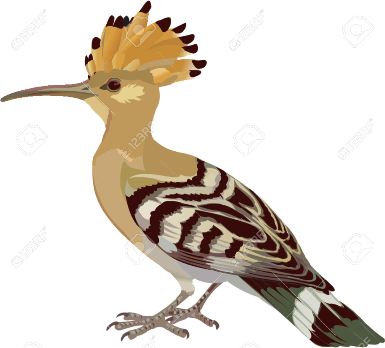 The Hoopoe Close Up clipart #13, Download drawings