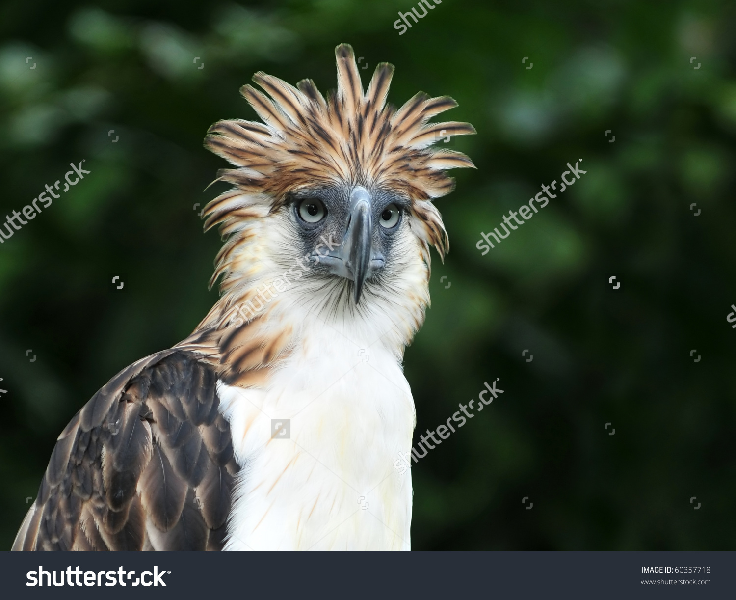 The Philippine Eagle clipart #12, Download drawings