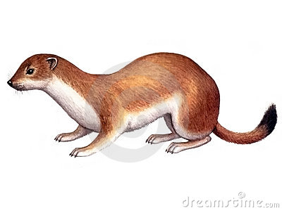 The Stoat clipart #2, Download drawings