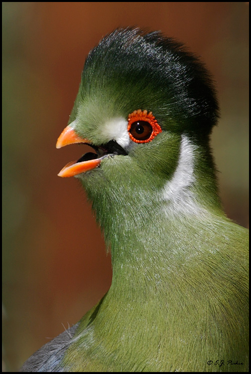 White-cheeked Turaco clipart #20, Download drawings