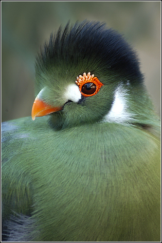 White-cheeked Turaco clipart #9, Download drawings