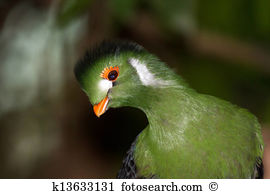 White-cheeked Turaco clipart #11, Download drawings