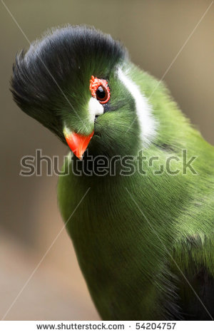 White-cheeked Turaco clipart #3, Download drawings