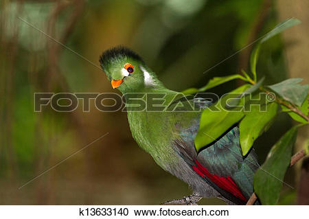 White-cheeked Turaco clipart #16, Download drawings