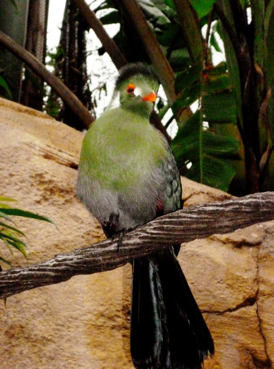 White-cheeked Turaco clipart #1, Download drawings