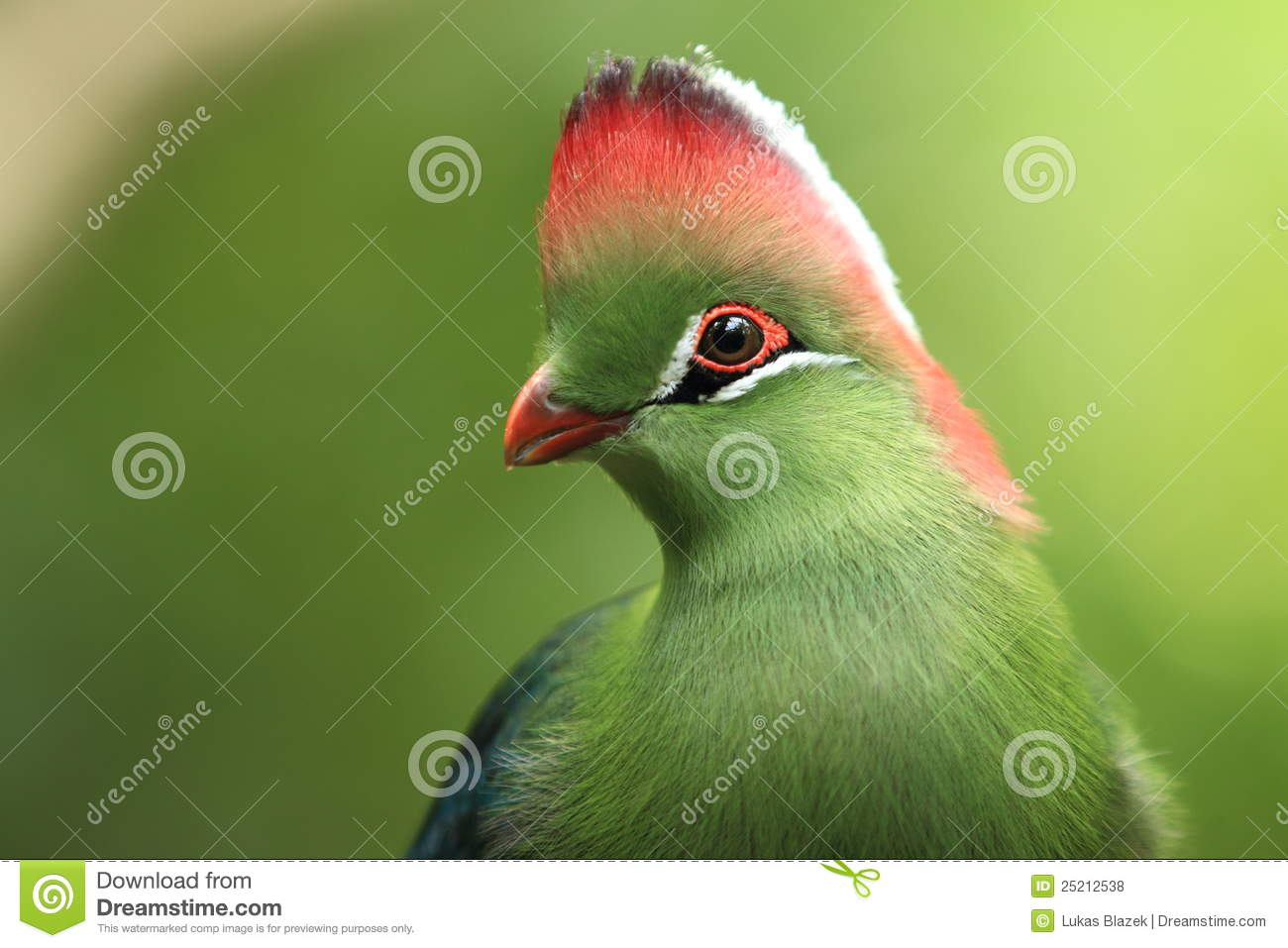 White-cheeked Turaco clipart #19, Download drawings