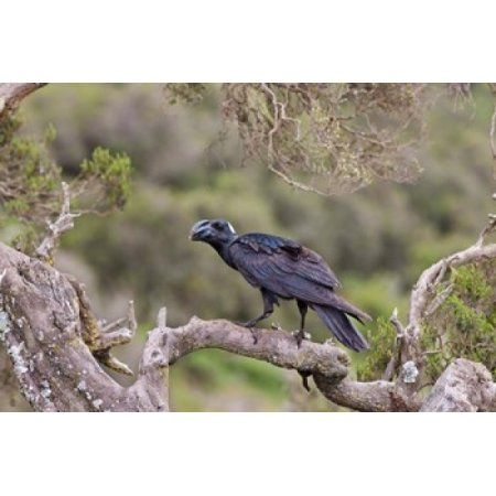 Thick-billed Raven clipart #3, Download drawings