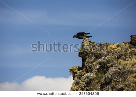 Thick-billed Raven clipart #1, Download drawings