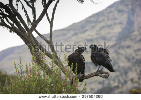 Thick-billed Raven clipart #17, Download drawings