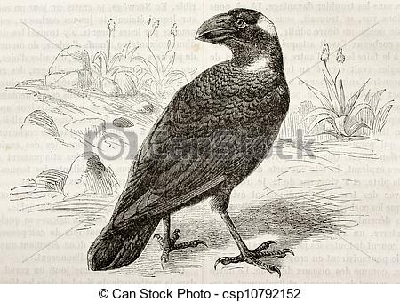 Thick-billed Raven clipart #16, Download drawings