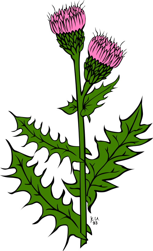 Thistle clipart #12, Download drawings