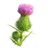 Thistle clipart #1, Download drawings