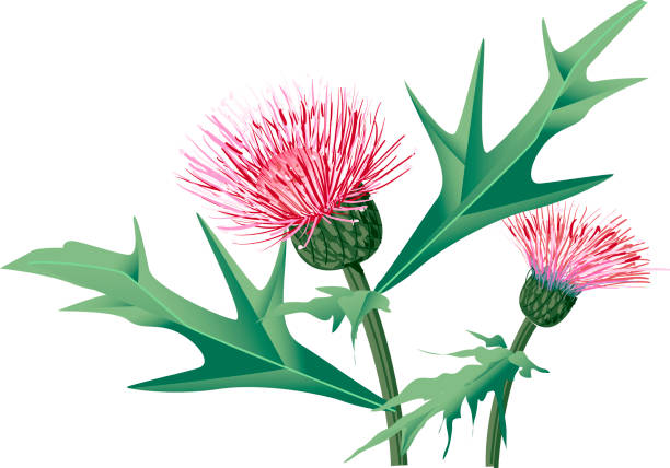 Thistle clipart #13, Download drawings