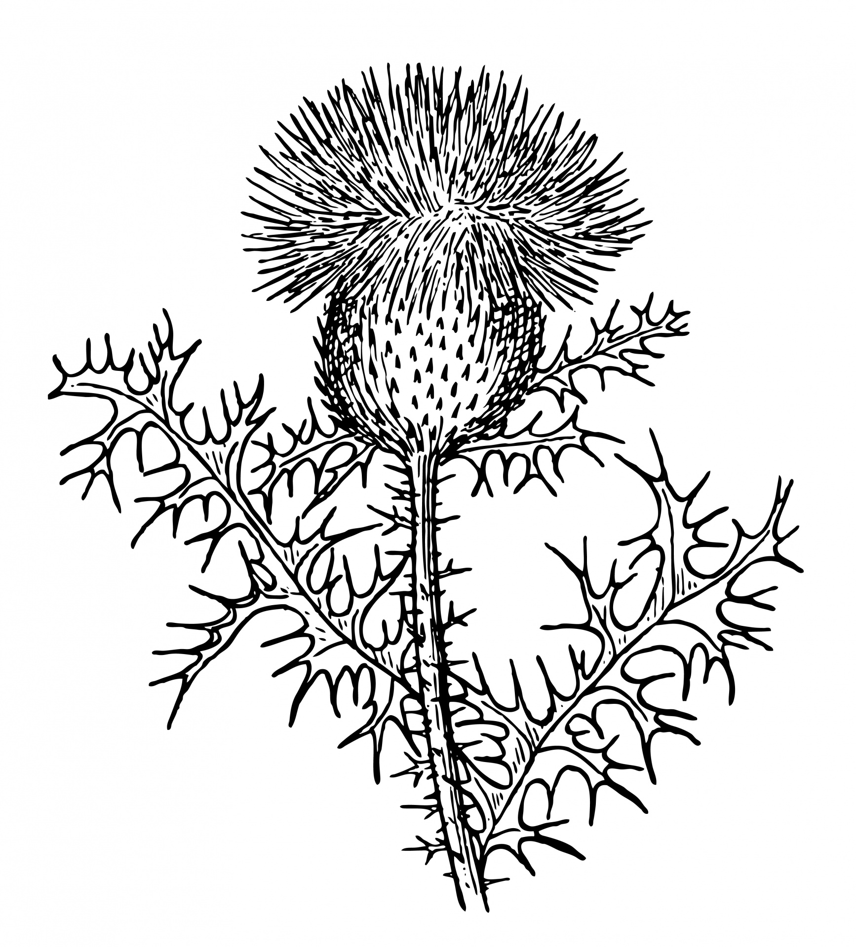 Thistle clipart #16, Download drawings