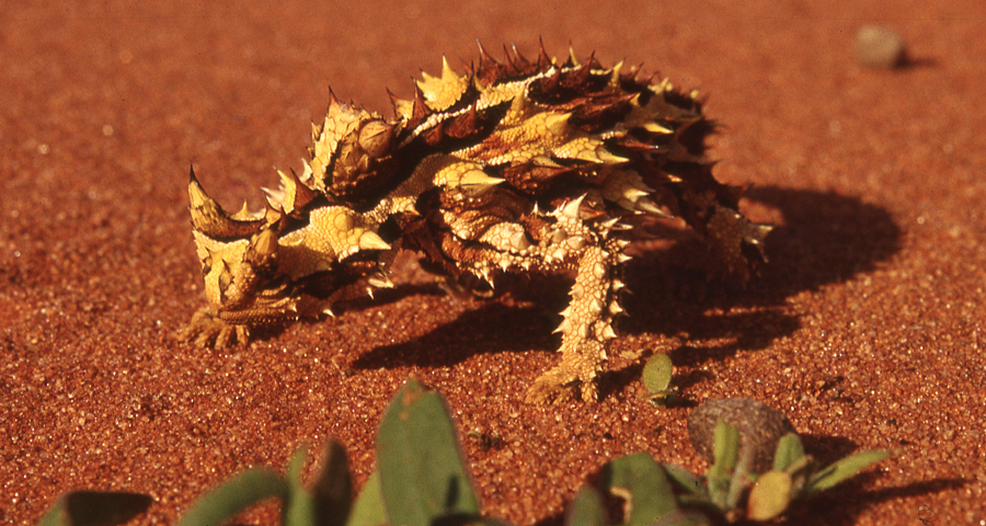 Thorny Devil svg #15, Download drawings