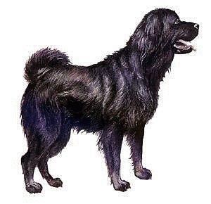 Tibetan Mastiff clipart #17, Download drawings