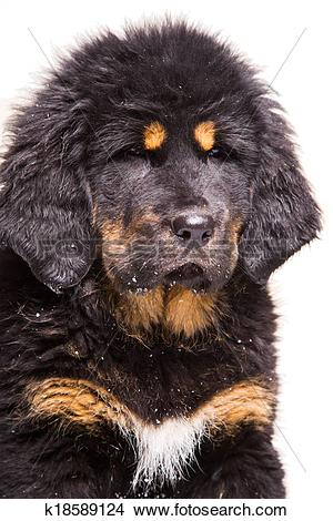 Tibetan Mastiff clipart #10, Download drawings