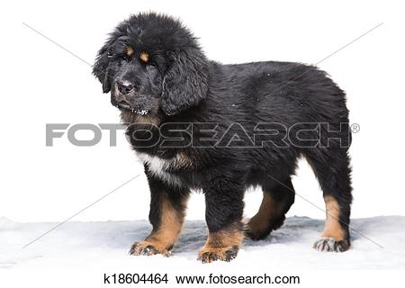 Tibetan Mastiff clipart #9, Download drawings