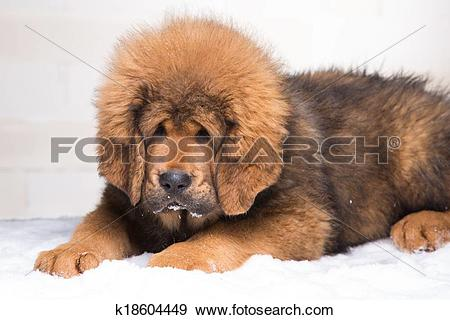 Tibetan Mastiff clipart #3, Download drawings