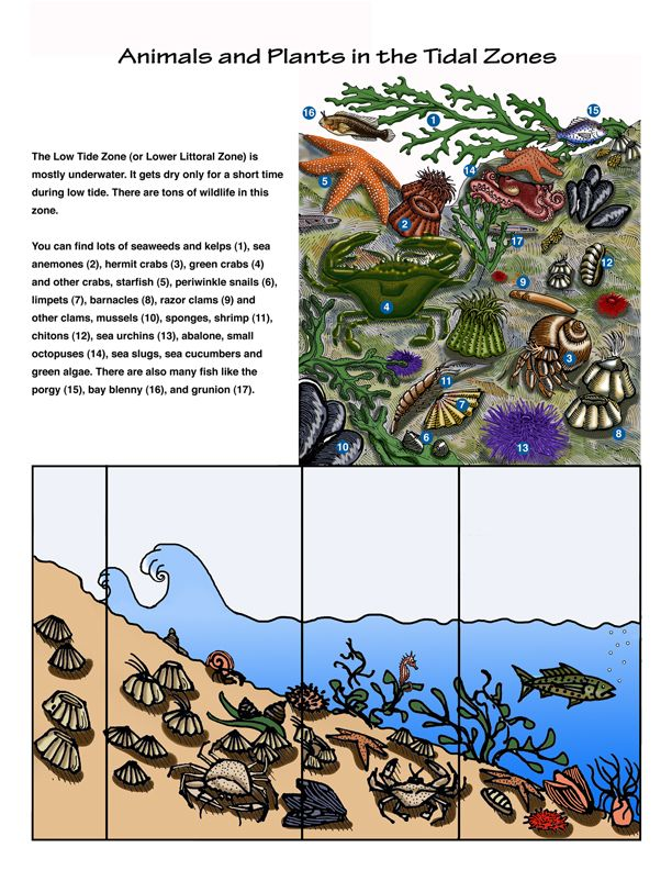 Tidal Zone clipart #11, Download drawings
