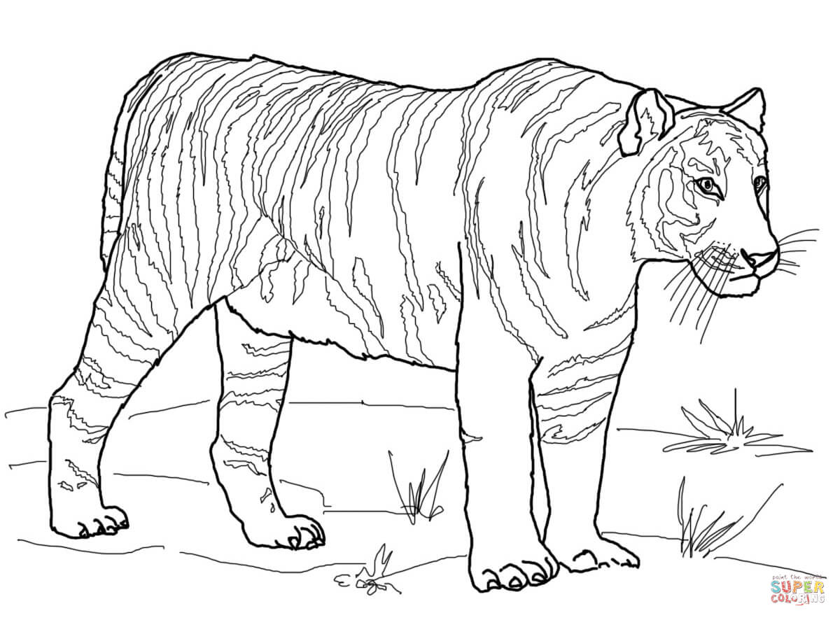 Sumatran Tiger coloring #8, Download drawings