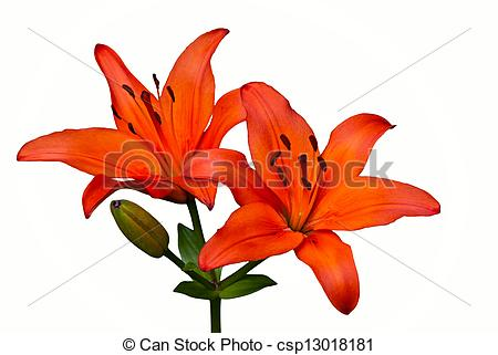 Tiger Lily clipart #9, Download drawings