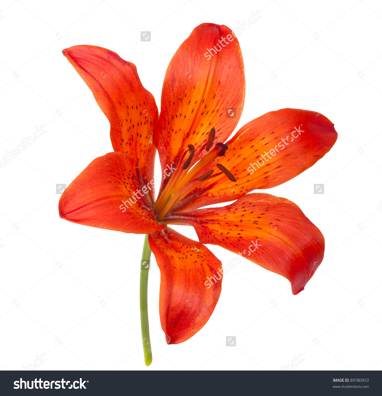 Tiger Lily clipart #8, Download drawings