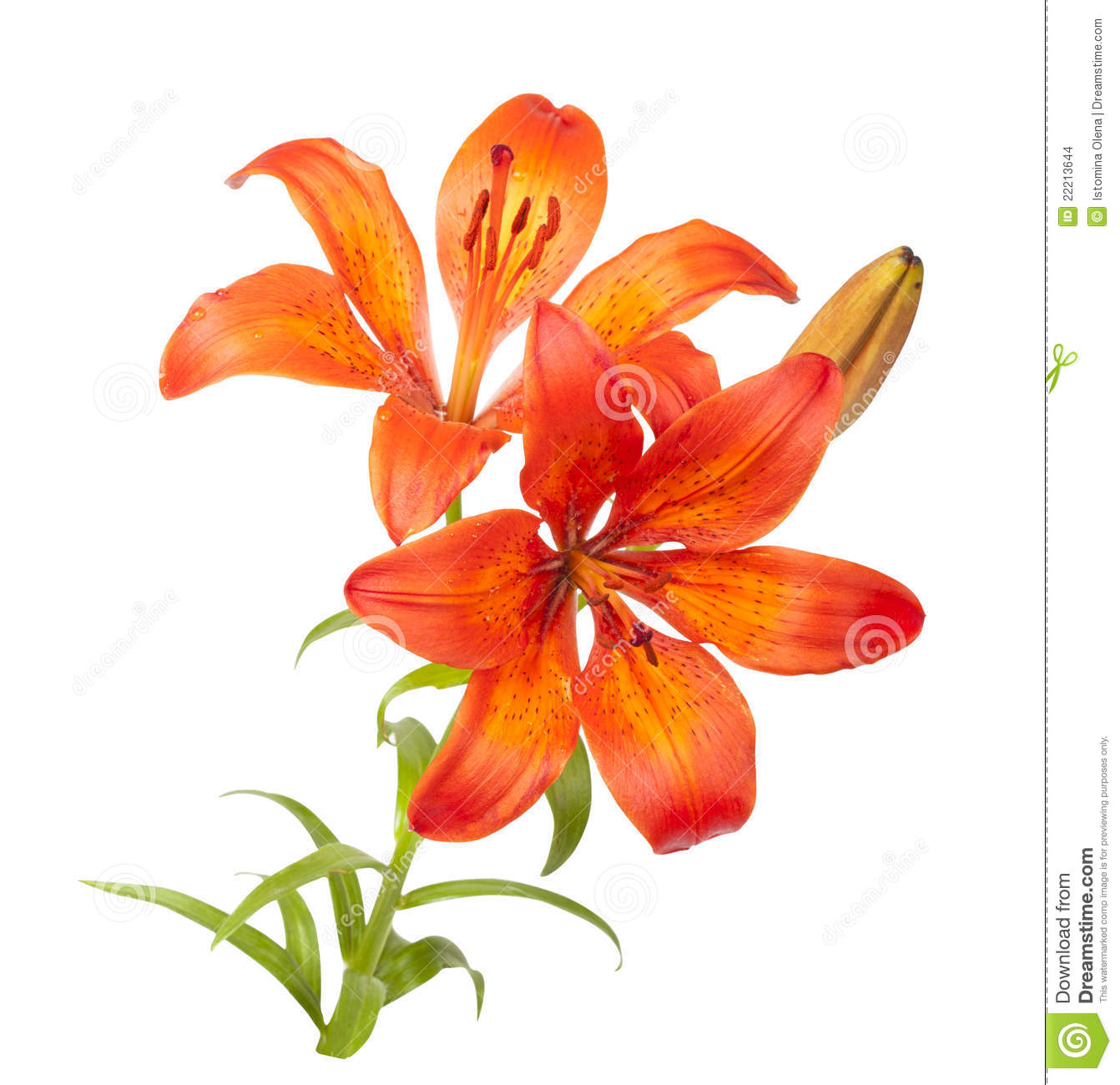Tiger Lily clipart #12, Download drawings