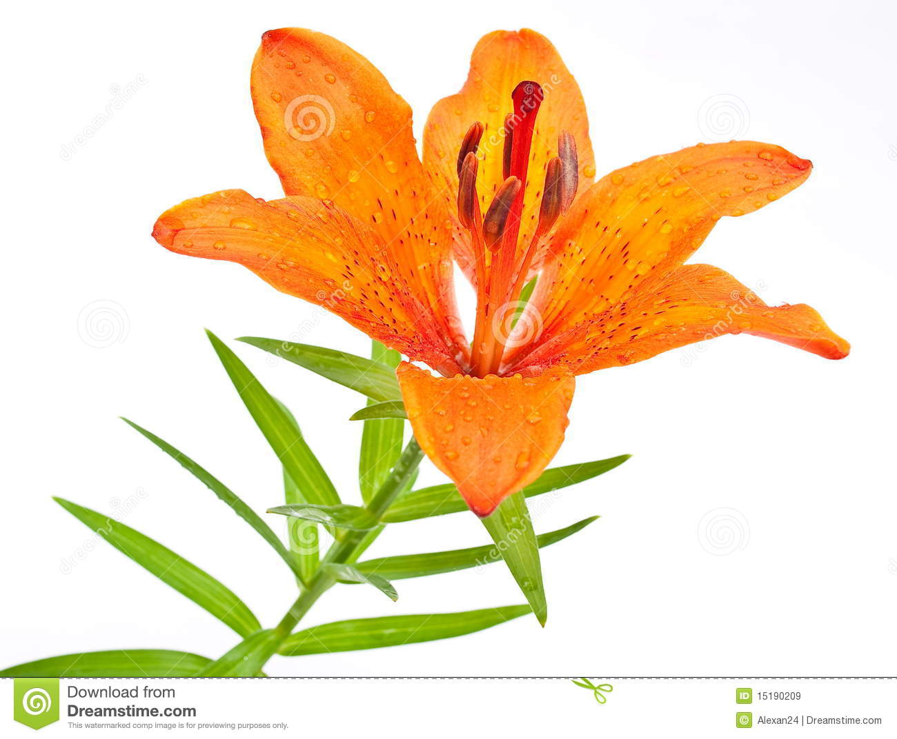 Tiger Lily clipart #10, Download drawings