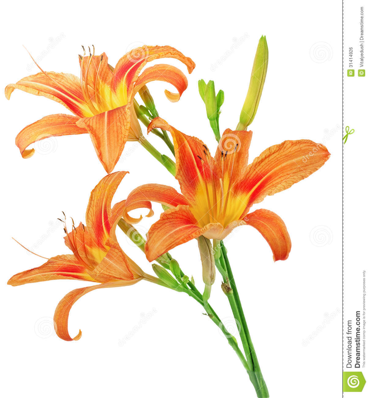 Tiger Lily clipart #4, Download drawings