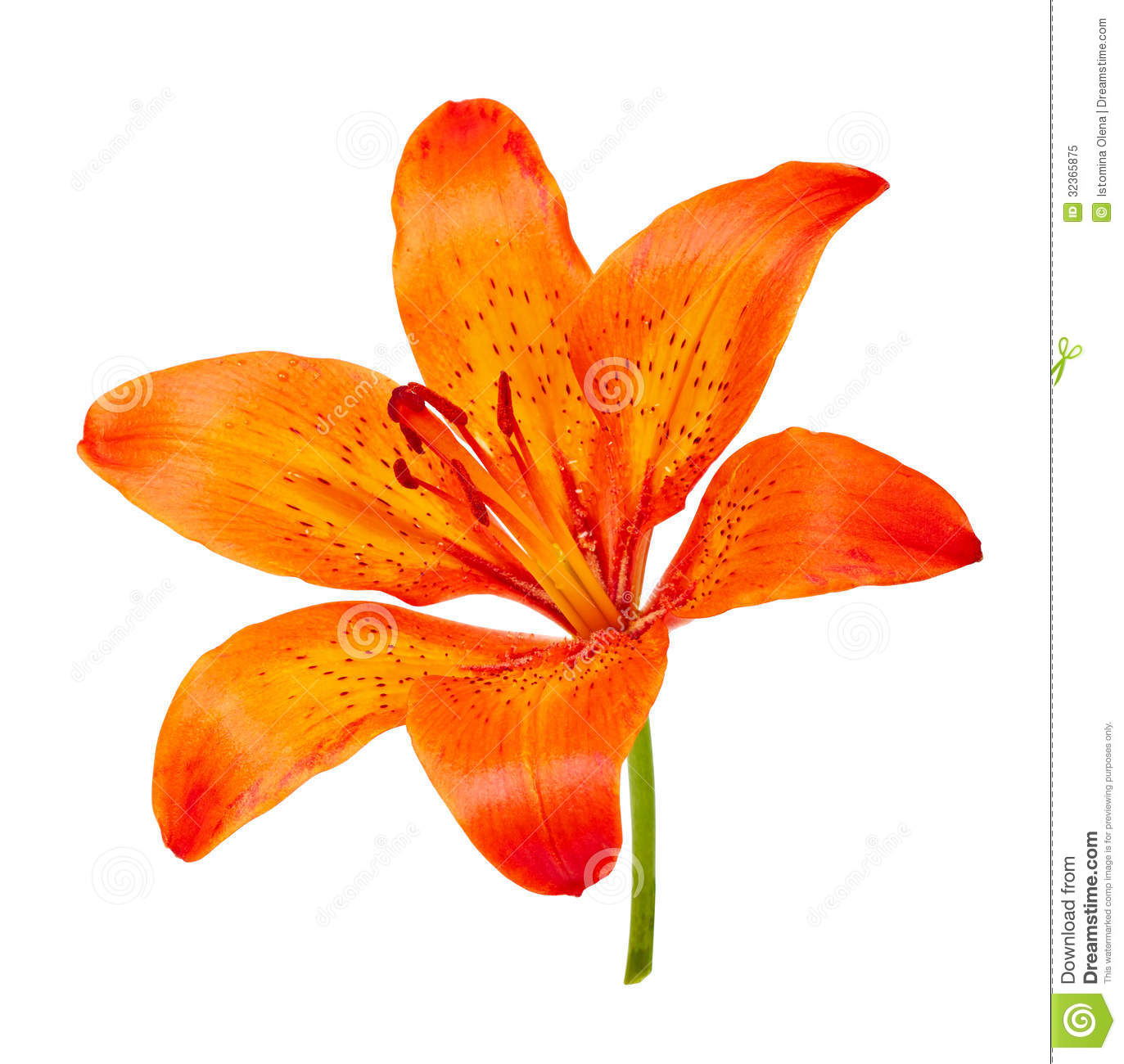 Tiger Lily clipart #18, Download drawings