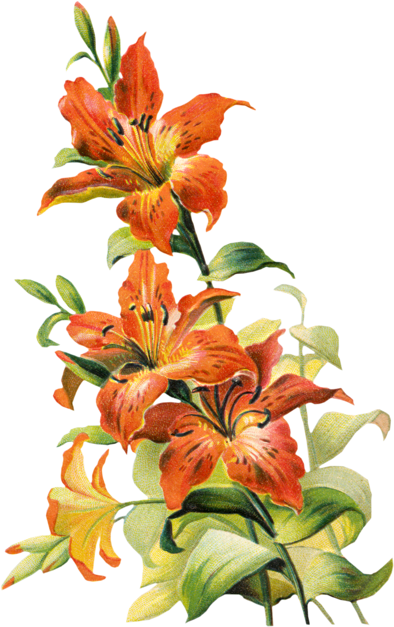 Tiger Lily clipart #1, Download drawings