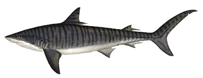 Tiger Shark clipart #1, Download drawings
