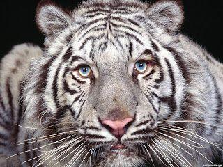 Tigre Bengala svg #8, Download drawings