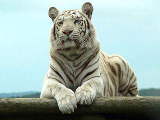 Tigre Bengala svg #9, Download drawings