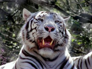 Tigre Bengala svg #2, Download drawings