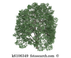 Tilia clipart #14, Download drawings