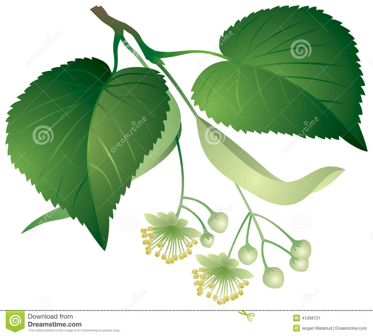 Tilia clipart #19, Download drawings